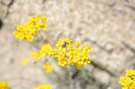 The yellow wild flowers of the area dominate the landscape heading into Big Bear/Lake Arrowhead.