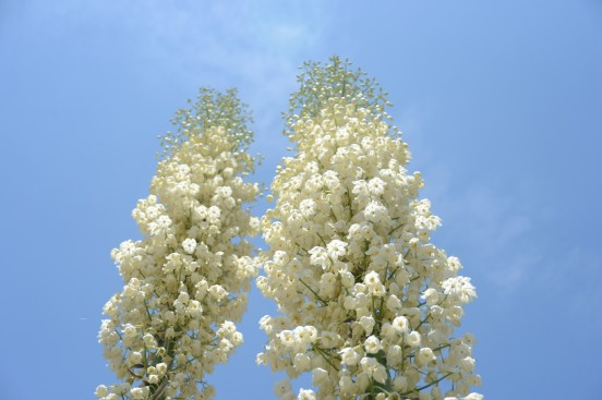 Yucca blooms towered to the sky. Very impressive.