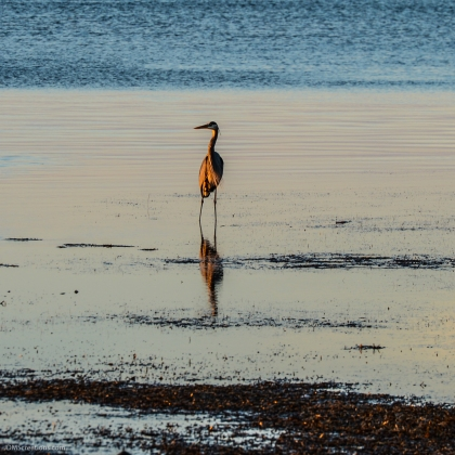 Sunrise off coast of Saint Andrews Bay in Panama City panhandle florida a type of Heron